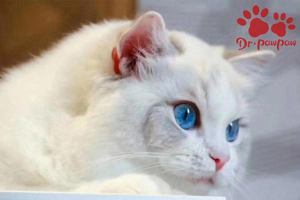 猫癫痫症状